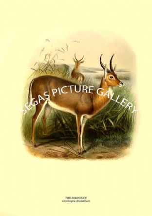 THE REED BUCK - Cervicapra Arundinum